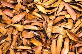 newslite1616716471461 - Natural way of satisfying your woman using mango leaves